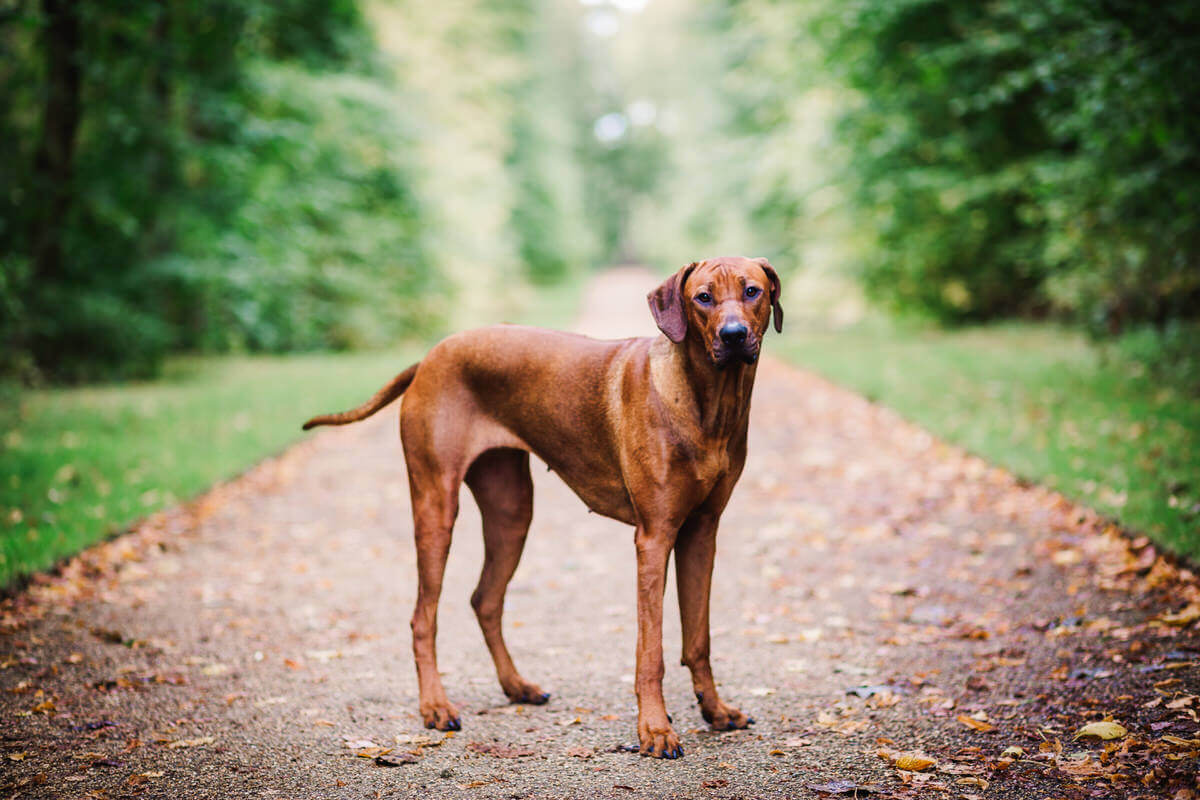 Pet photography in lancashire, ridgeback dog